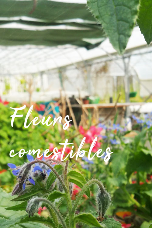 fleurs_comestibles