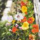 plant_capucine